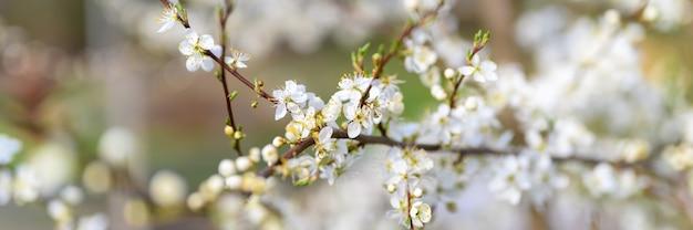 Le prugne o le prugne sbocciano fiori bianchi all'inizio della primavera in natura. messa a fuoco selettiva. banner