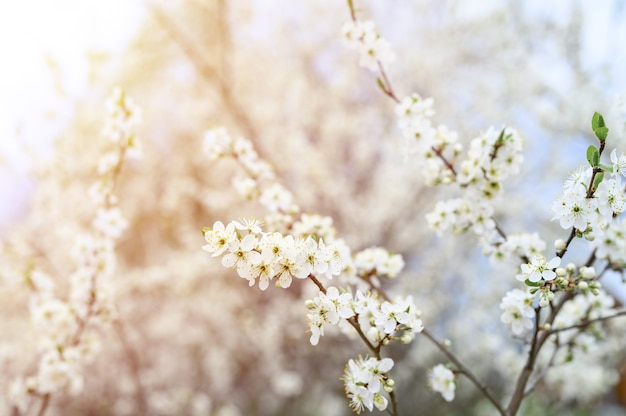 Le prugne o le prugne sbocciano fiori bianchi all'inizio della primavera in natura. messa a fuoco selettiva. bagliore
