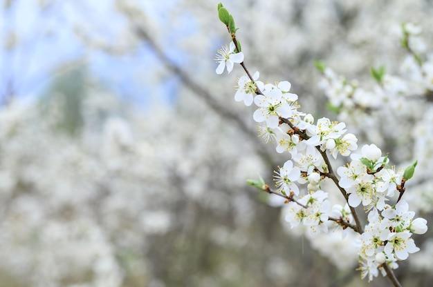 Le prugne o le prugne sbocciano fiori bianchi all'inizio della primavera in natura. messa a fuoco selettiva
