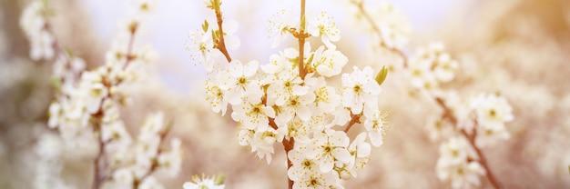 Le prugne o le prugne sbocciano fiori bianchi all'inizio della primavera in natura. messa a fuoco selettiva.