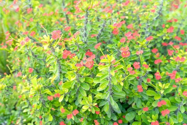 Poi sian e fiori rossi stanno sbocciando nel giardino ornamentale. sfondo naturale astratto.