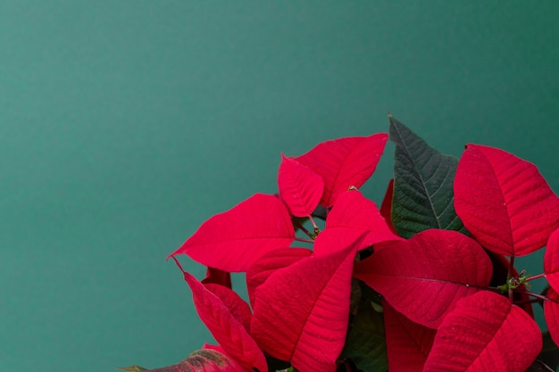 La stella di natale su sfondo verde, conosciuta anche come christmas flowe, decorazione floreale natalizia, fogliame rosso e verde