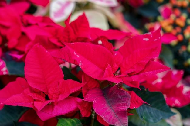 Poinsettia è una brillante pianta ornamentale con foglie rosse sulle cime dei germogli.