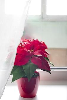 Poinsettia in luce naturale su una finestra leggera