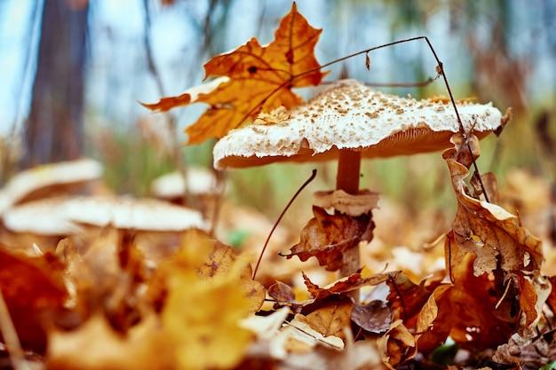 Fungo velenoso sullo sfondo di foglie cadute