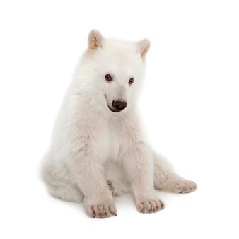 Cucciolo di orso polare, ursus maritimus seduto su sfondo bianco