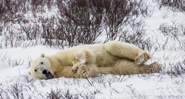 L'orso polare giace nella neve nella tundra. canada. parco nazionale di churchill.