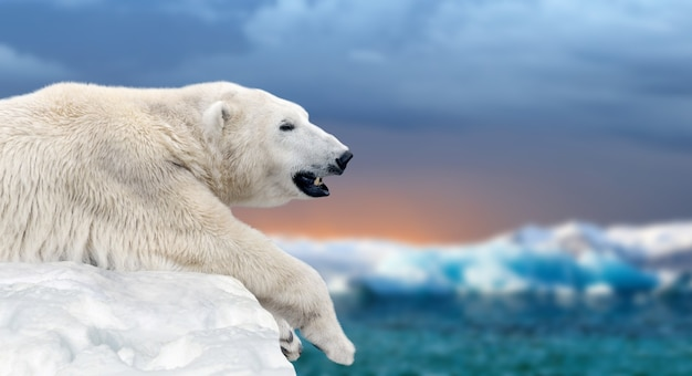 Orso polare su un lastrone di ghiaccio che si scioglie nel mare artico