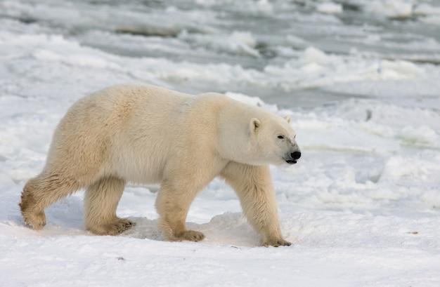 Orso polare nella tundra. neve. canada.