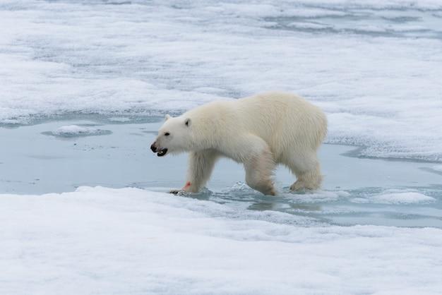 Orso polare (ursus maritimus) che va sul branco di ghiaccio a nord dell'isola di spitsbergen