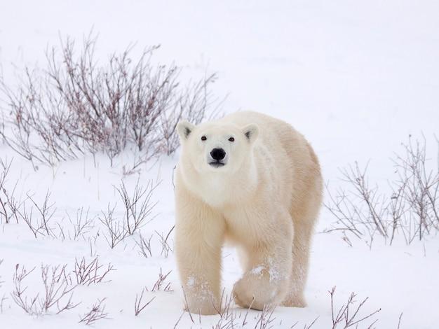 Orso polare che si sveglia attraverso il campo innevato