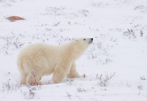 Orso polare che cammina attraverso il campo innevato