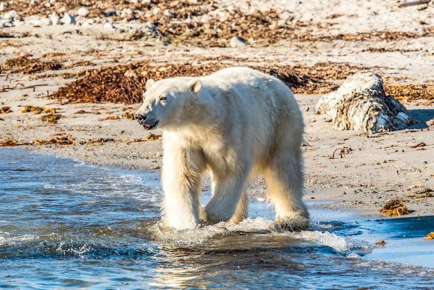 Orso polare che cammina nell'acqua nell'artico