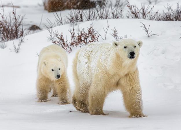 Orso polare con un cucciolo nella tundra.