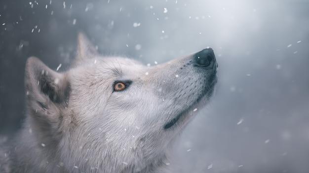 Il lupo polare guarda la neve. ritratto. bellissimo sfondo. tonalità fredde.