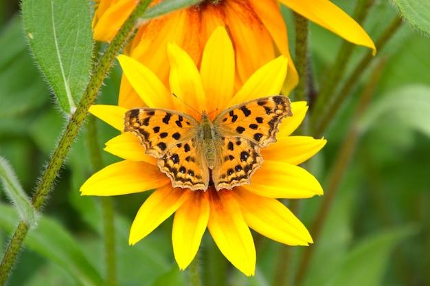 Polygonia c-album farfalla su rudbeckia hirta fiore