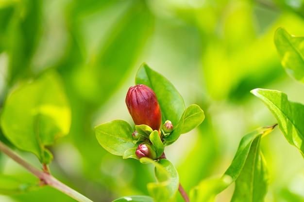 Fiore di melograno si chiuda in un giardino primaverile.