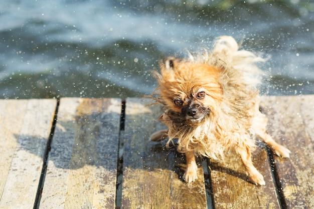 Cane di pomerania che agita fuori dall'acqua. pomerania scuote l'acqua dalla sua pelliccia
