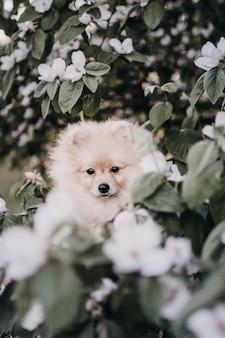 Cucciolo di pomerania tra fiori bianchi