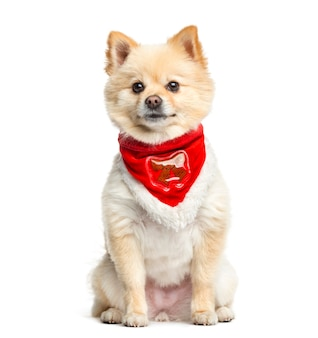 Pomerania che si siede con una sciarpa rossa, isolata su bianco