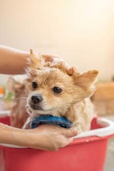 Pomerania o cane di piccola taglia è stato fatto la doccia dal proprietario e si trovava nel secchio rosso