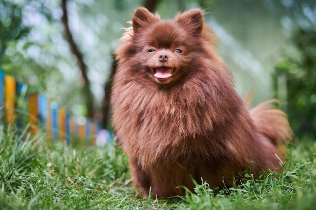 Pomerania spitz cane in giardino