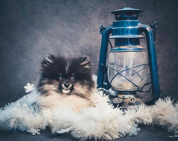 Cucciolo di cane spitz di pomerania in ghirlande a natale o capodanno