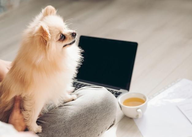 Il cane spitz di pomerania siede sulle ruote della sua padrona mentre lavora online a casa
