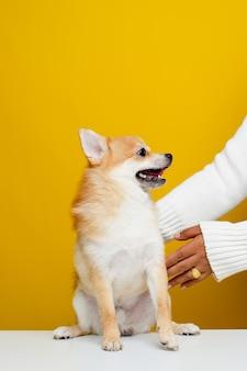 Lo spitz di pomerania è carino e soffice. ritratto di un cucciolo di spitz di pomerania carino e soffice. gioca con il capo su un moderno sfondo giallo brillante spazio vuoto per il testo