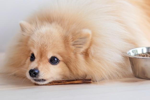 Il cucciolo di spitz di pomerania sta mangiando l'osso da masticare