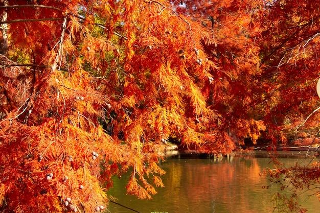 Stagno in autunno con cipressi rossi. i colori dell'autunno in un parco.