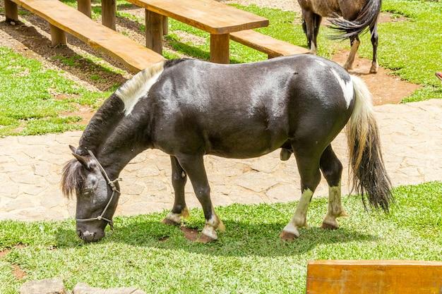 Pony che cammina liberamente nella fattoria, mangiando erba.