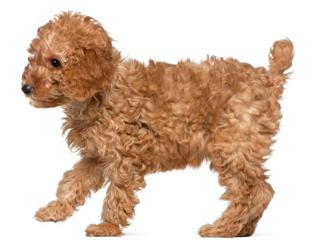 Cucciolo di barboncino, 2 mesi, in piedi