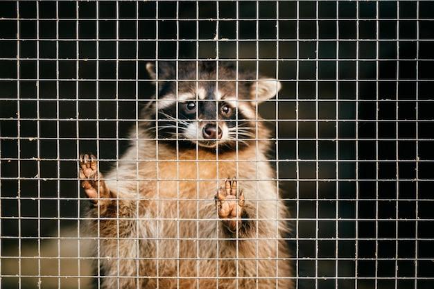 Procione di compassione povero che soffre nello zoo e cerca di uscire dalla gabbia.