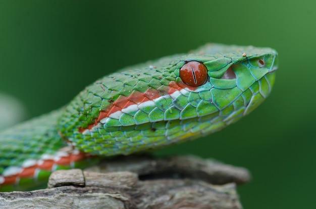 Papa's green pitviper snake
