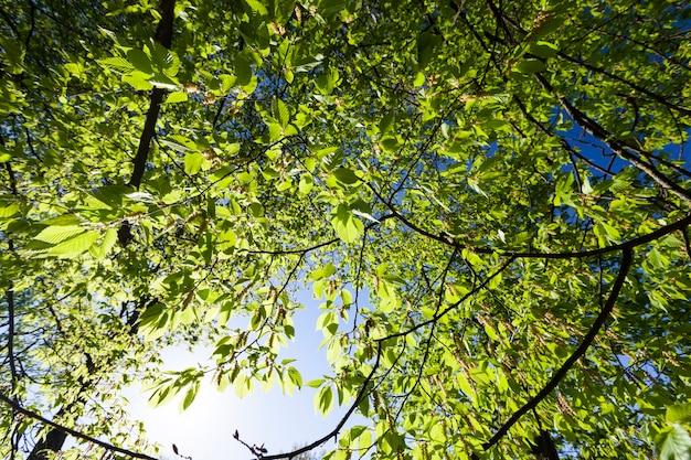 Pioppi con foglie verdi prima che gli alberi fioriscano, pioppi verdi nella stagione primaverile nella foresta