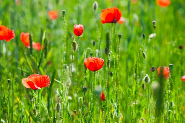 Campo di papaveri con fiori ravvicinati, sullo sfondo della natura.
