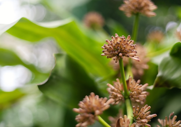 Pianta popolare in thailandia. i fiori di dracaena sono profumati, il nome thailandese dell'albero sacro vassana.