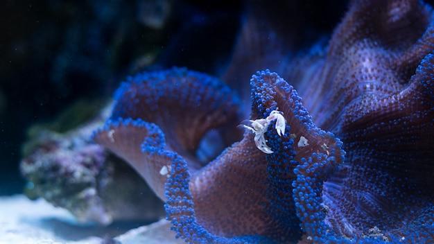 Granchio di porcellana in simbiosi con l'anemone blu