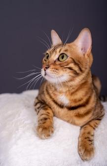 Ritratto di un adorabile gatto domestico del bengala su uno sfondo grigio in studio