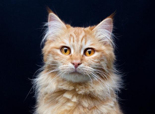Ritratto del gatto adorabile dello zenzero maine coon che osserva nella macchina fotografica