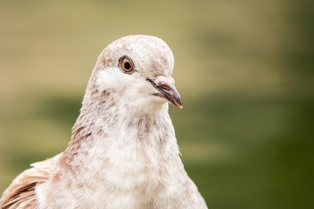 Ritratto di un adorabile piccione maculato sulla vegetazione sfocata nel parco