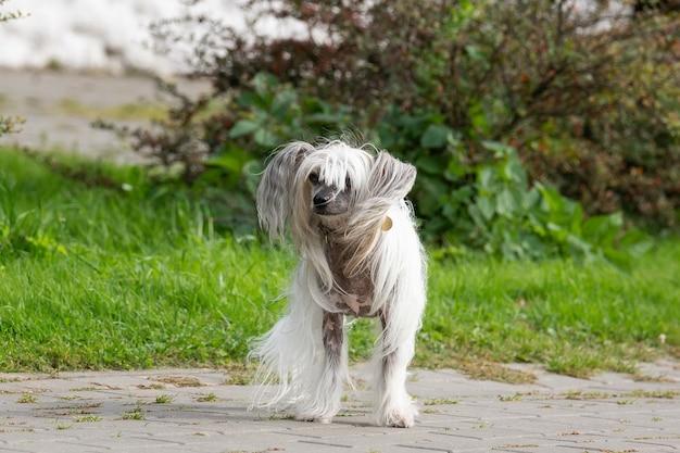Ritratto di incredibile chinese crested dog in estate