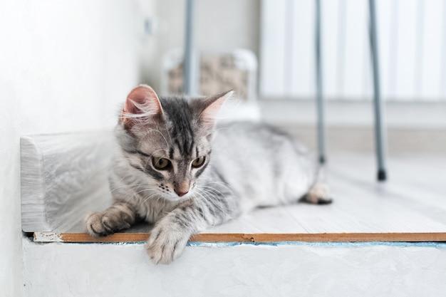 Ritratto di gattino american shorthair a casa.