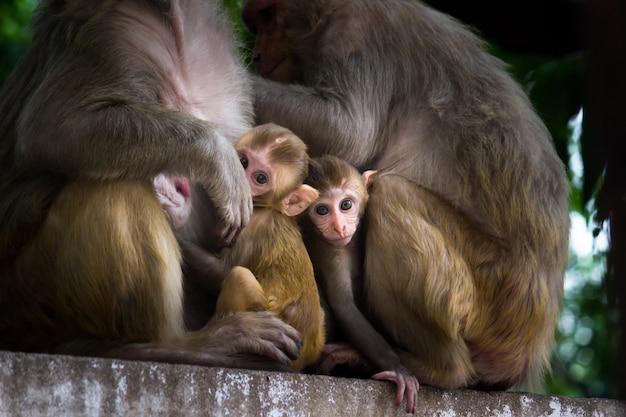 Ritratto di un cucciolo di scimmia macaco rhesus che beve latte materno