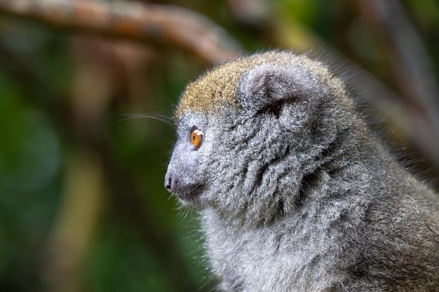 Un ritratto di un lemure di bambù nel suo ambiente naturale