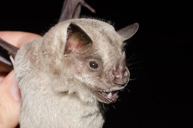 Ritratto del pipistrello pipistrello mangiafrutta con frange (artibeus fimbriatus).
