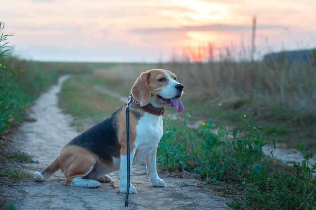 Ritratto di un cane beagle sullo sfondo di un bel cielo al tramonto in estate dopo la pioggia mentre si cammina nella natura