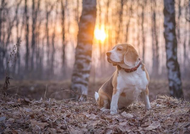 Ritratto di un cane beagle in un parco naturale in primavera durante una passeggiata la sera