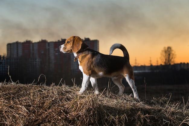 Ritratto di un cane beagle a passeggio sullo sfondo di un bellissimo cielo al tramonto in estate